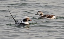 Long-tailed Duck - Irondequoit Bay Outlet - © Dick Horsey - Dec 06, 2016